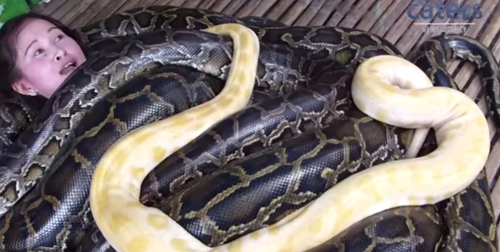 20-FOOT MAN-EATING PYTHONS GIVE MASSAGES WITH HAPPY ENDINGS!