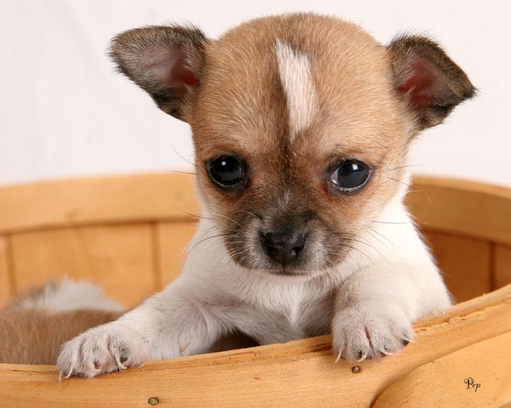 chihuahua puppies pics