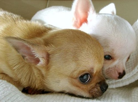 The Cutest Chihuahua Puppies – How Cute Are These Chihuahuas?