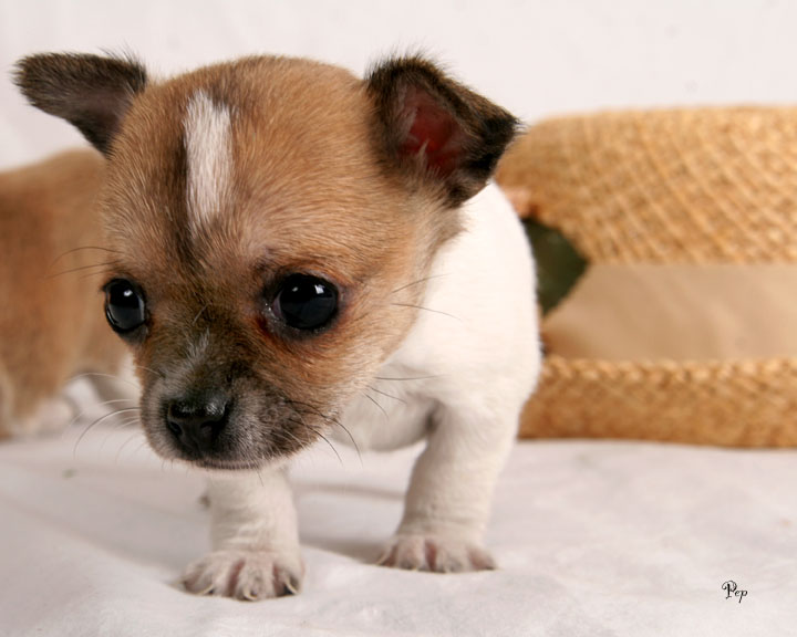 cute chihuahua puppies pictures