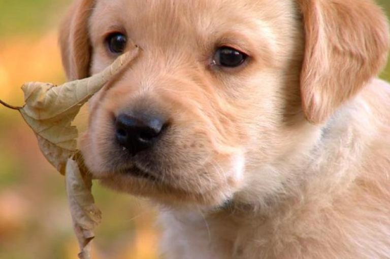 These Are The Cutest Labrador Puppy Pictures! The Most Adorable And Cute Labrador Puppy Pics