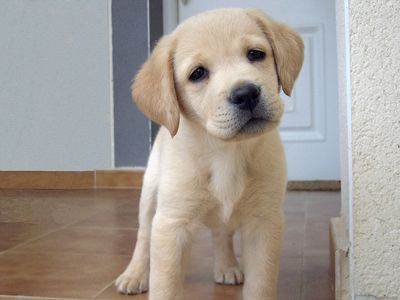 These Are The Cutest Labrador Puppy Pictures! The Most ...