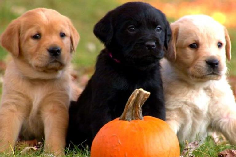 cute lab puppy pictures