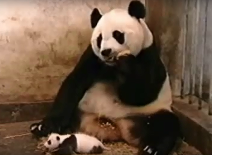 BLESS YOU! CUTE PANDA ALERT!!